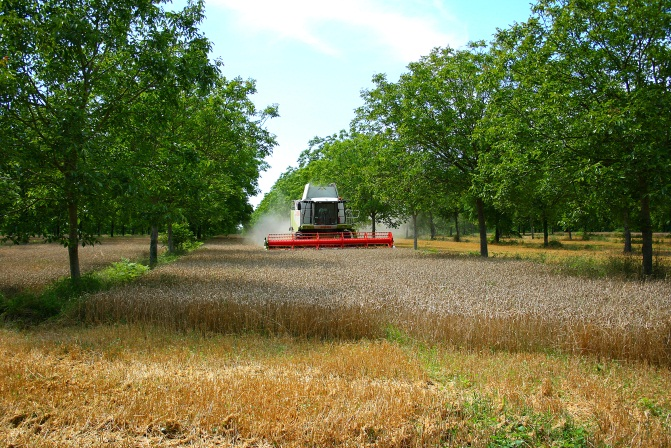 Wheat and walnut trees agroforestry system